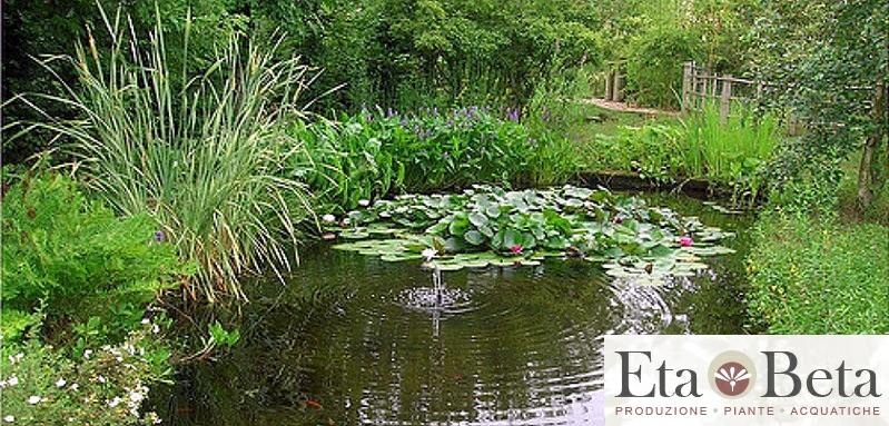 Vendita piante acquatiche vendita piante acquatiche on for Piante da laghetto ossigenanti
