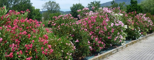 Collezione nerium oleander soi for Oleandro potatura
